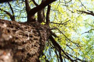 Весняний дуб покритий молодим листям